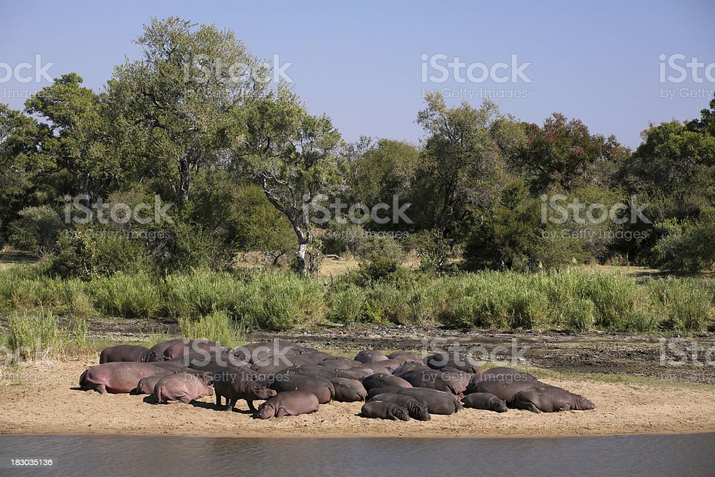 Large pod of Hippos sleeping together alongside an African river. stock photo