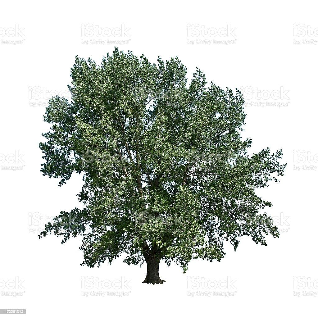 large poplar stock photo