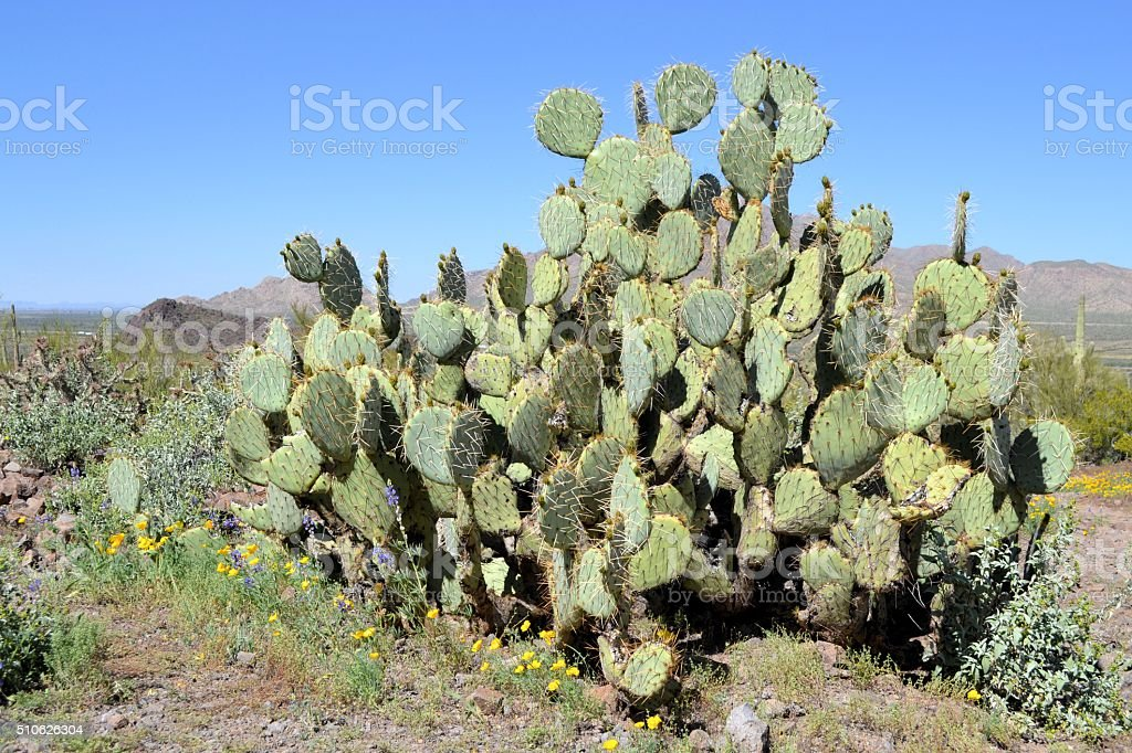Large Prickly Pear Cactus stock photo