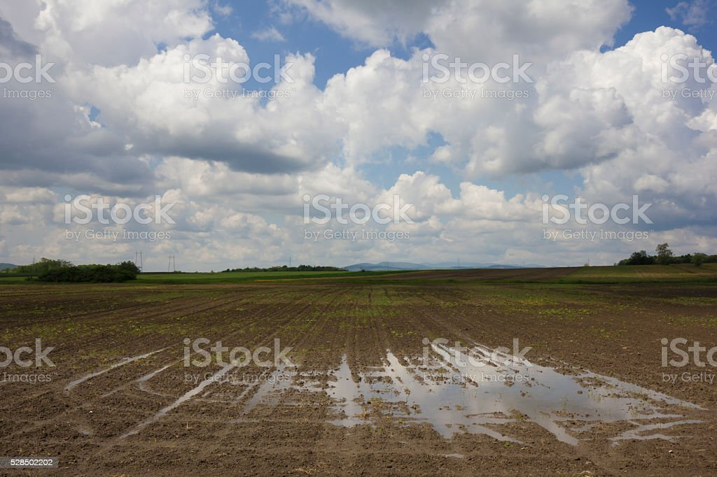 Large puddle on agriculture field with germinated seeds stock photo
