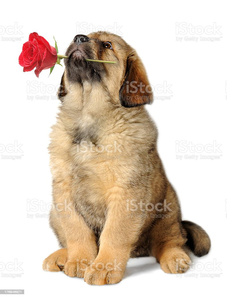 A Large puppy, sitting with a rose in its mouth stock photo