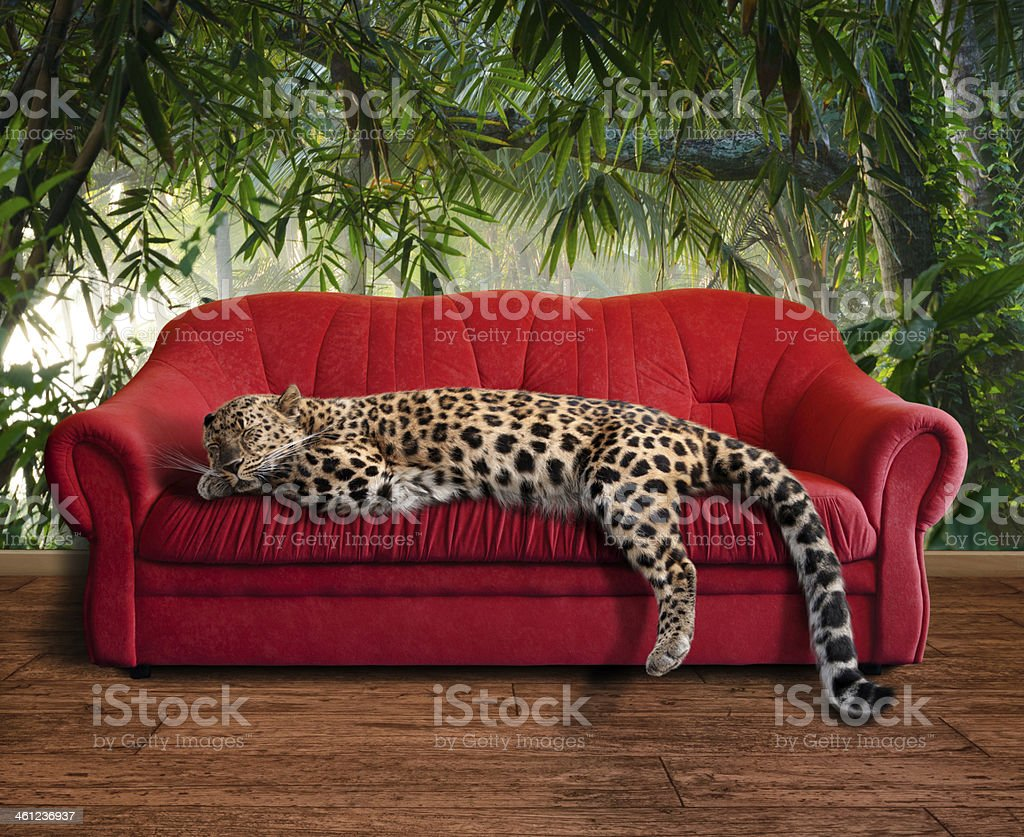 large pussy cat - leopard sleeping stock photo