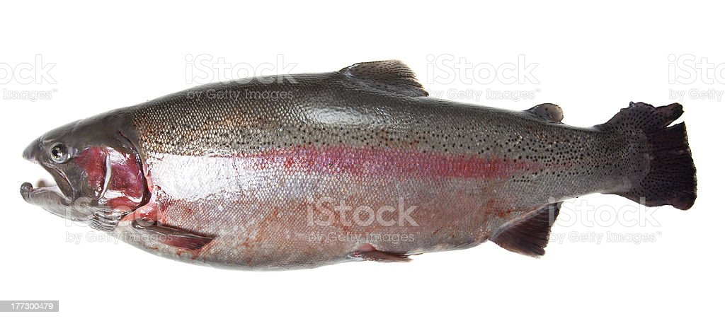 Large rainbow trout (Oncorhynchus mykiss) isolated on white background royalty-free stock photo