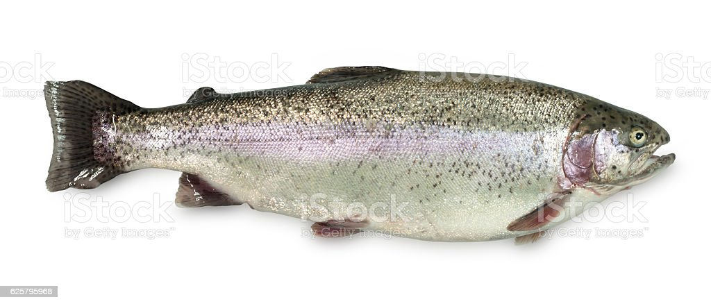 Large Rainbow Trout on a white background stock photo