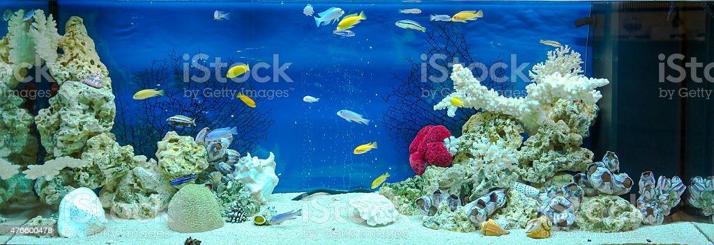 Large rectangular aquarium with tropical cichlids fish stock photo
