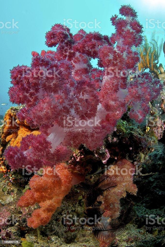Large red and orange soft coral in Somosomo Strait, Fiji stock photo