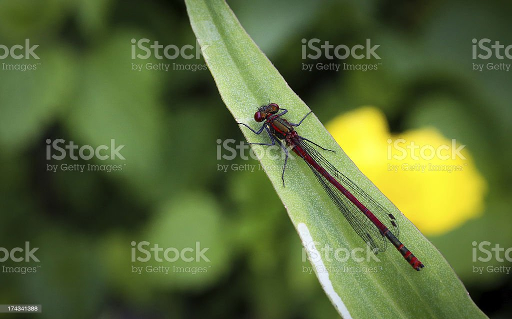 "Large Red Damsefly (Male) ?€"" Pyrrhosoma nymphula royalty-free stock photo"