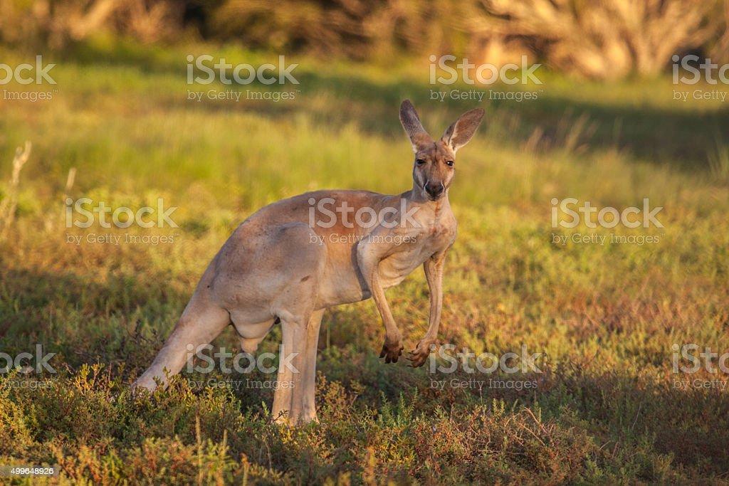 Large red kangaroo stock photo