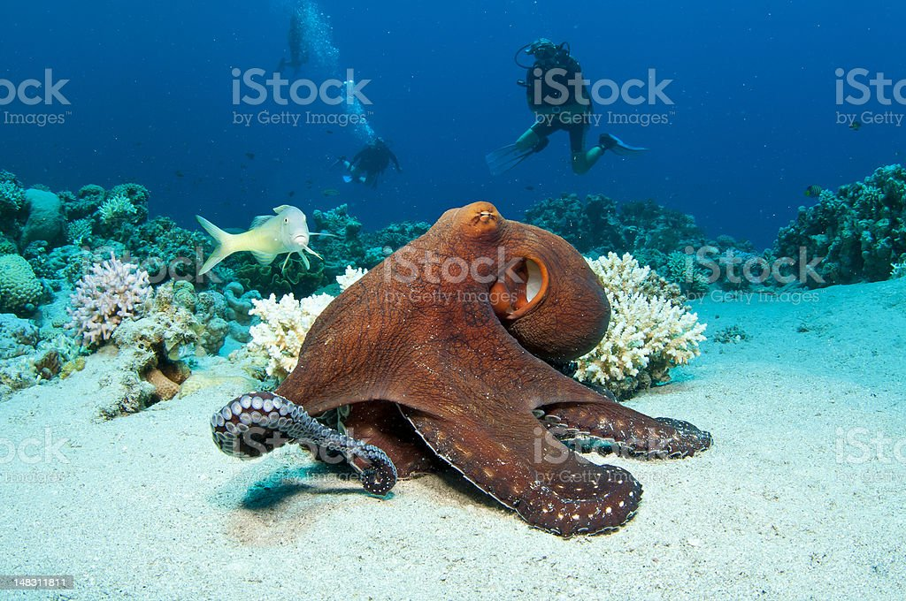 A large red octopus under the ocean stock photo