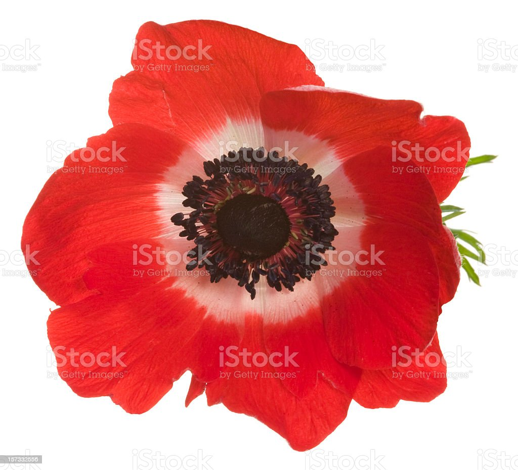 Large red poppy with white in the center stock photo
