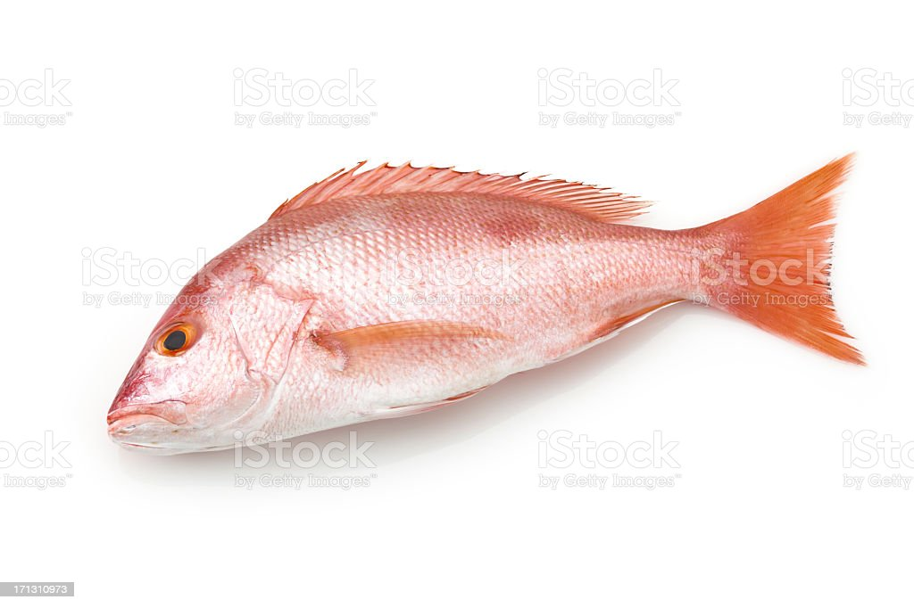 Large red snapper fish on white background stock photo