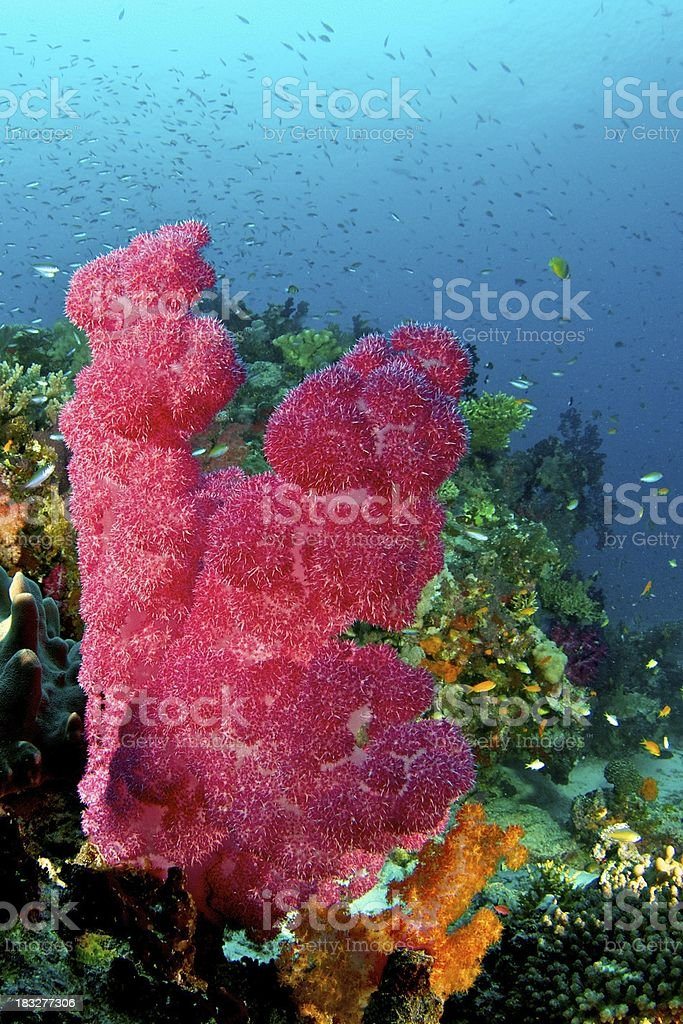 Large Red Soft Coral in Somosomo Strait, Fiji stock photo