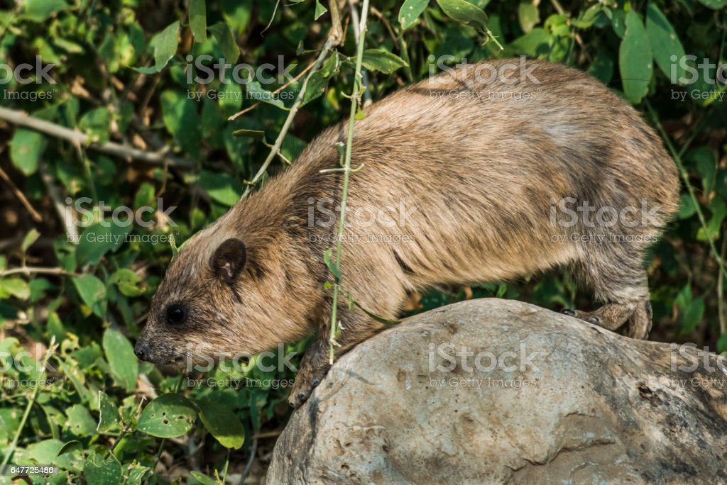 Large rock hyrax on a round stone stock photo