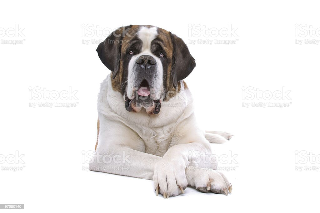 Large Saint Bernard dog laying down on a white background stock photo