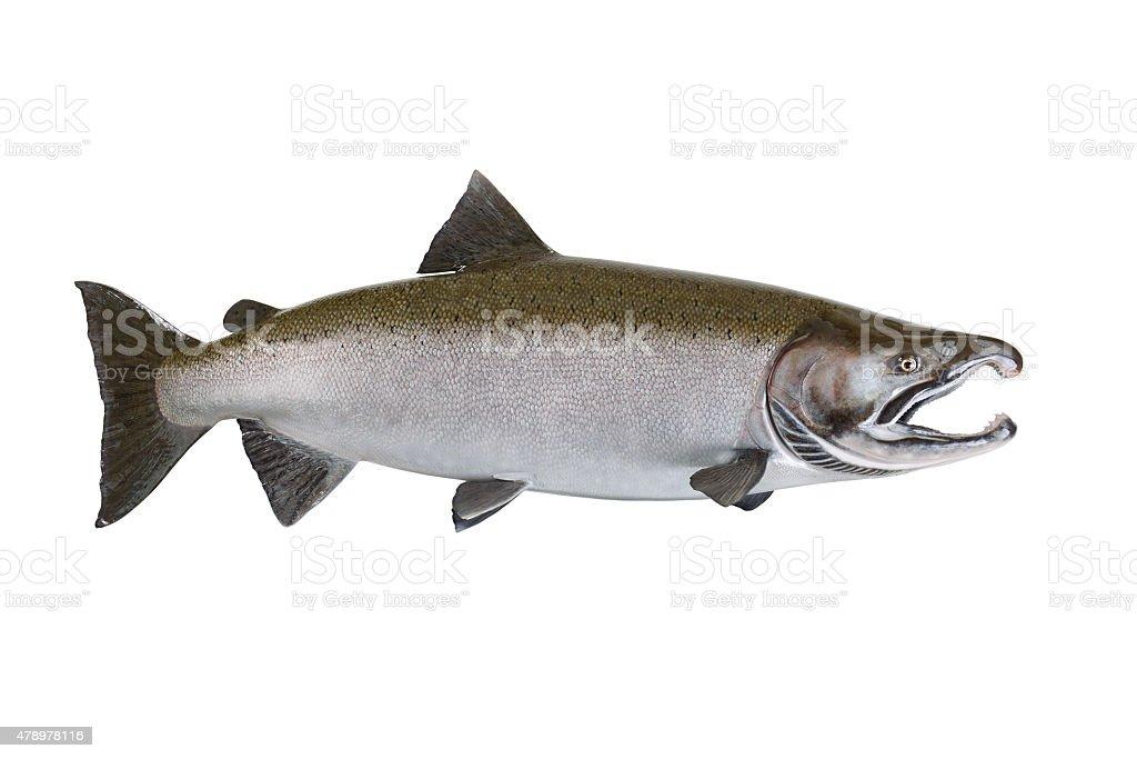 Large Salmon isolated on white background stock photo