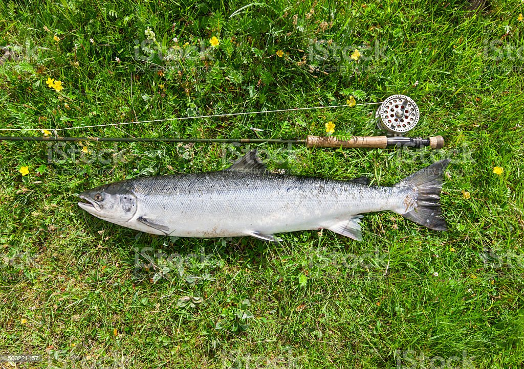 Large salmon just caught stock photo