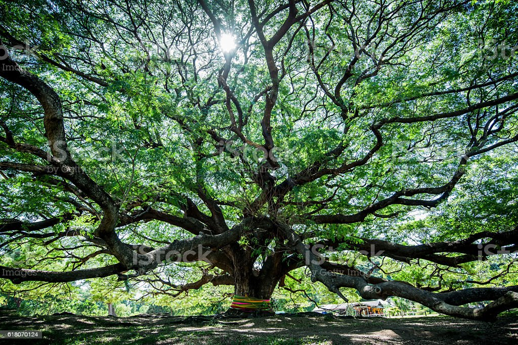 Large Samanea saman tree with branch in Kanchanaburi, Thailand stock photo