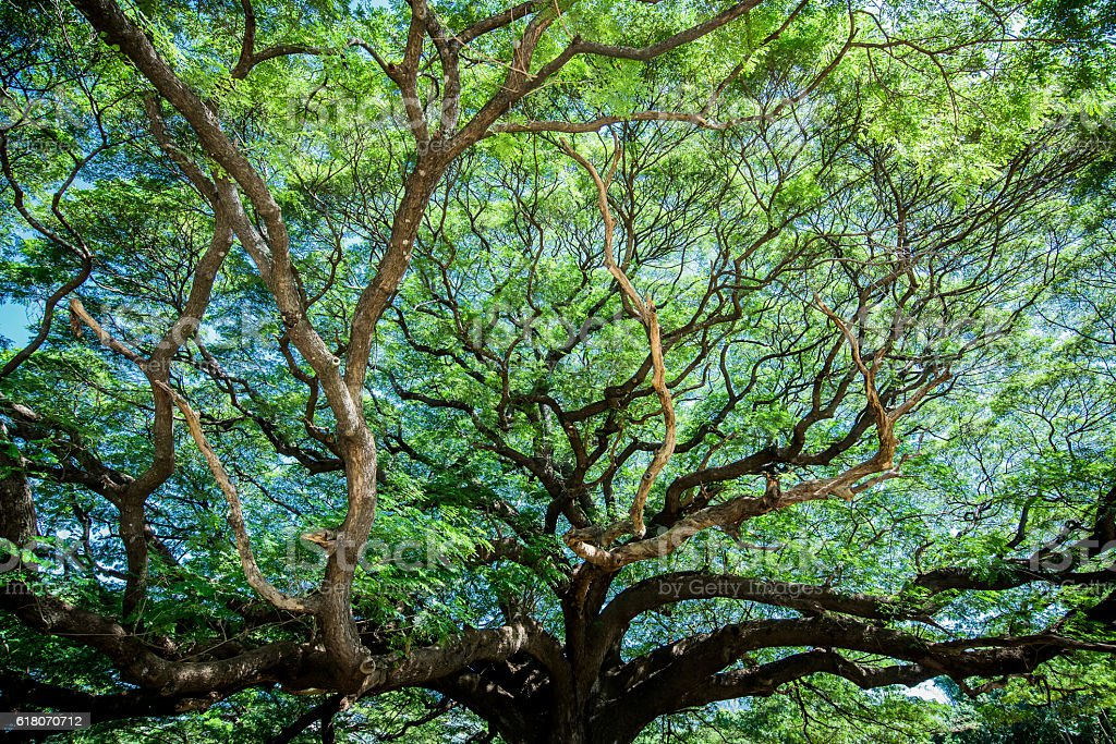 Large Samanea saman tree with branch in Kanchanaburi, Thailand stock photo