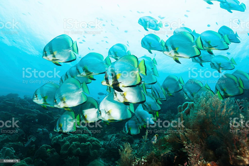 Large School of Dusky Batfish Platax pinnatus, Raja Ampat, Indonesia stock photo
