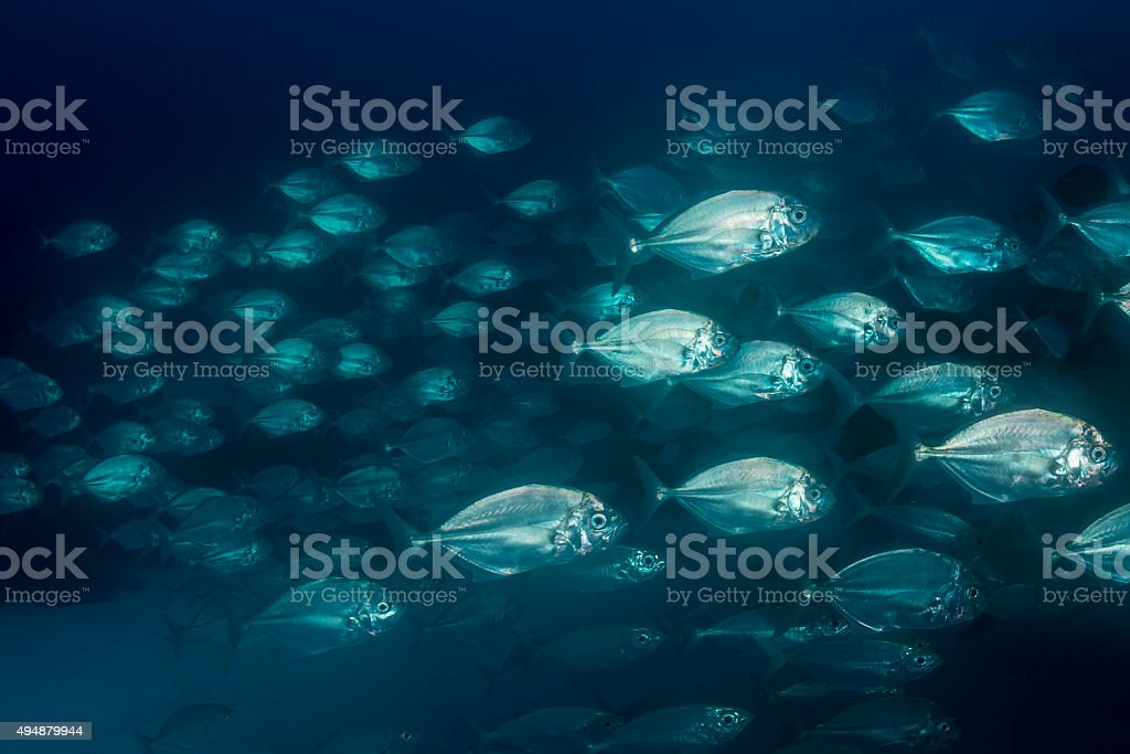 Large school of jacks in Palau, Micronesia stock photo