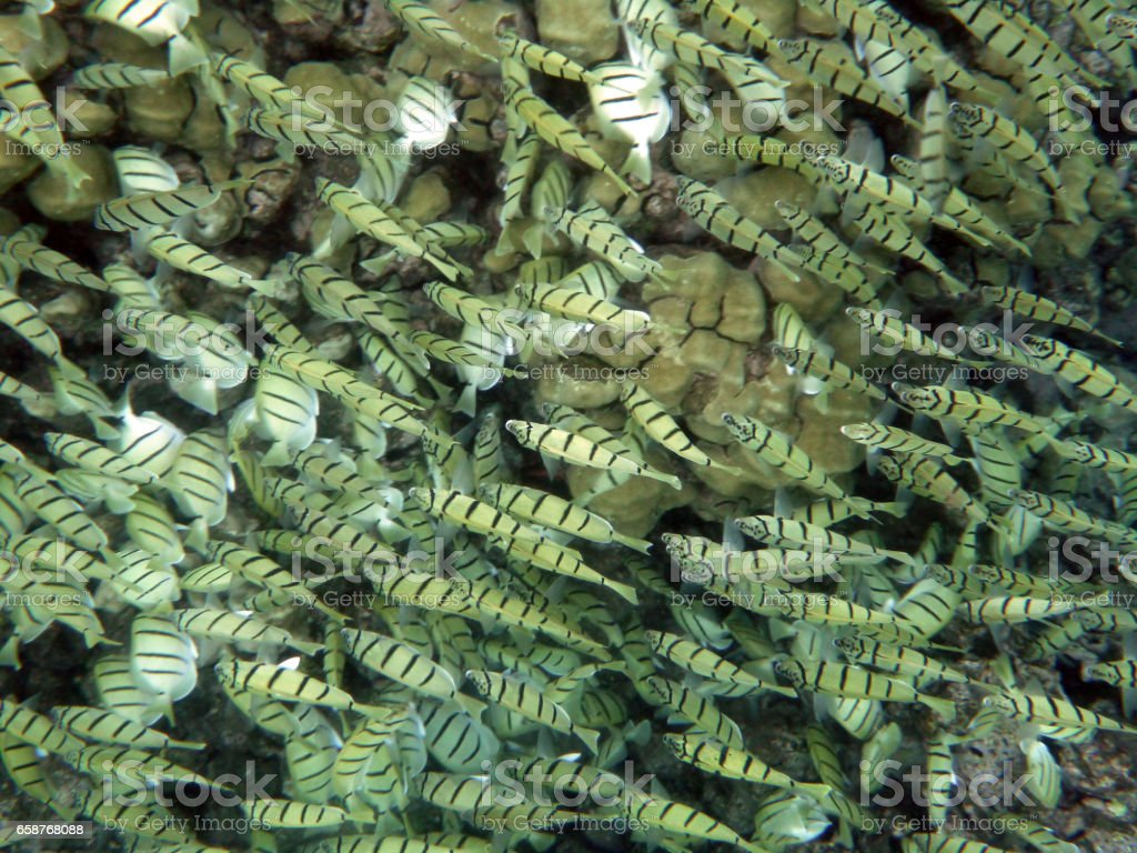 Large School of Yellow striped Convict Tang Fish swim above the coral stock photo