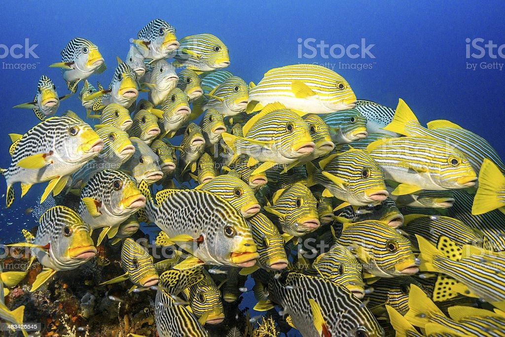 Large school tropical sweetlips stock photo