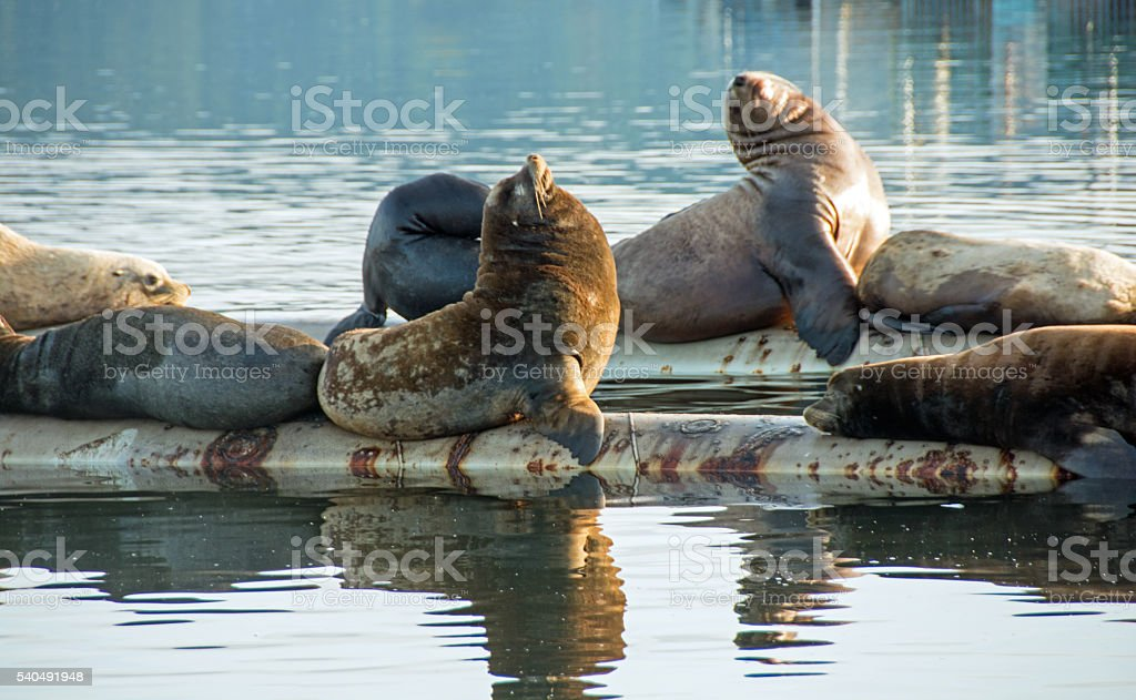 Large sea lions at rest on a floating construction pier stock photo