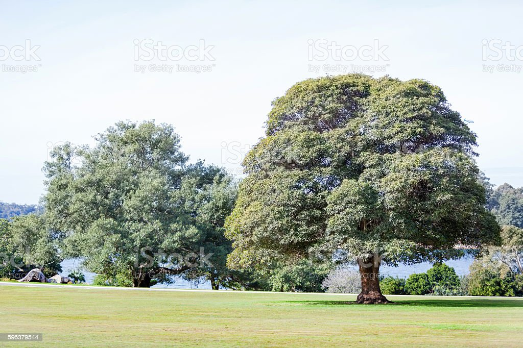 Large Shade Trees Royal Botanic Garden Sydney stock photo