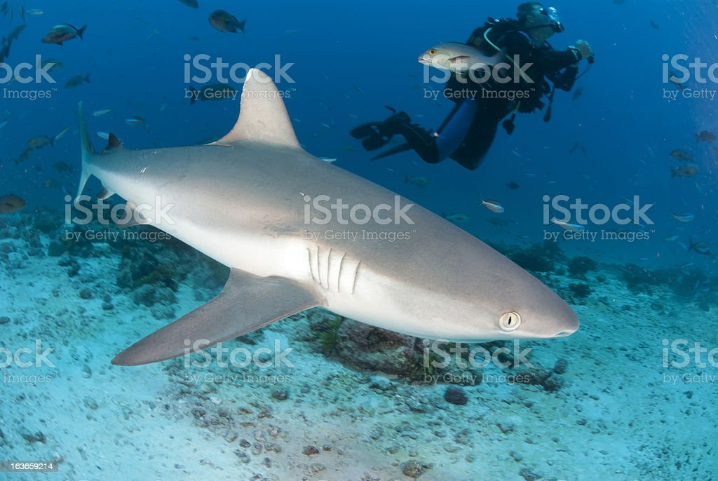 large shark and scuba diver stock photo