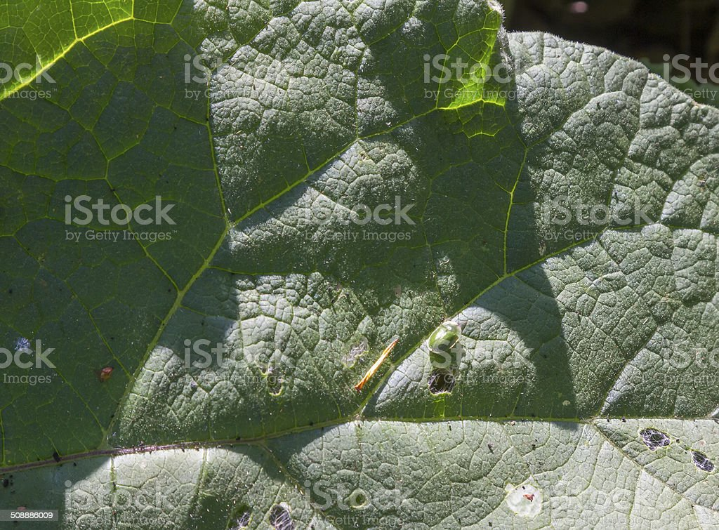 large sheet of a tree, with a green aphid royalty-free stock photo