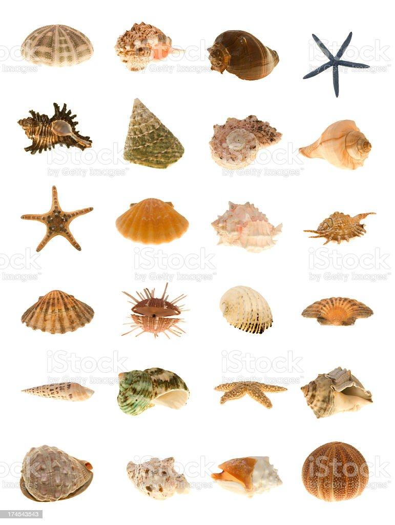 Large shells of the world stock photo