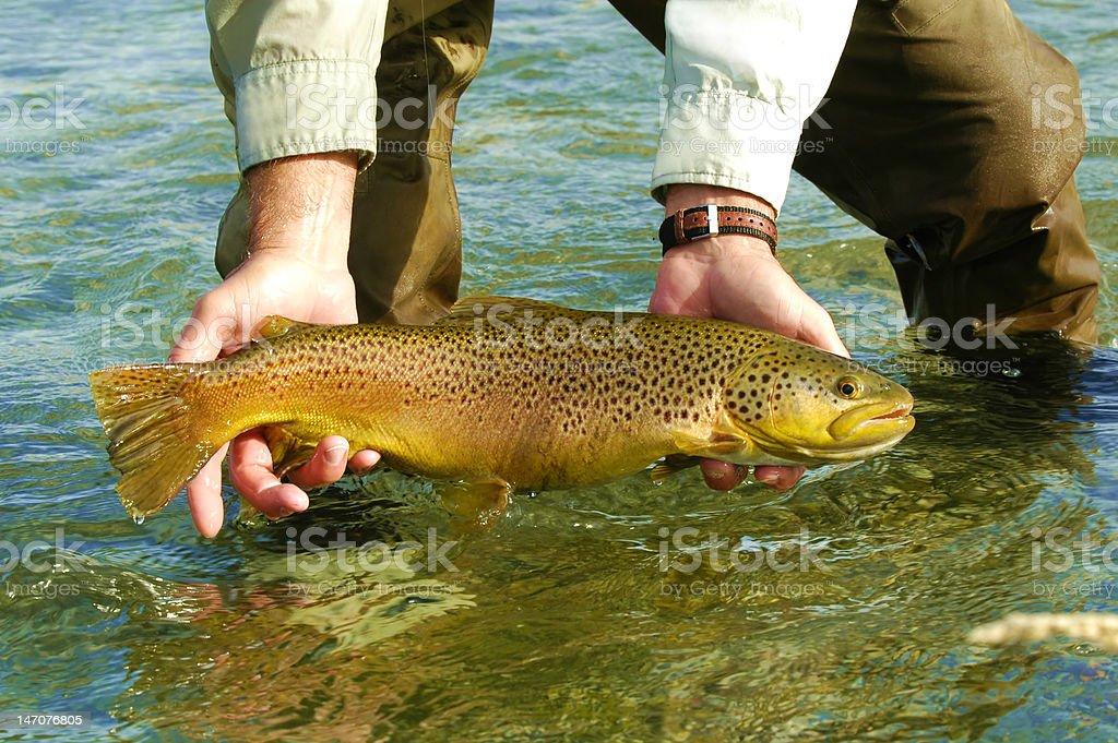 Large Silver Creek, Idaho Brown Trout stock photo