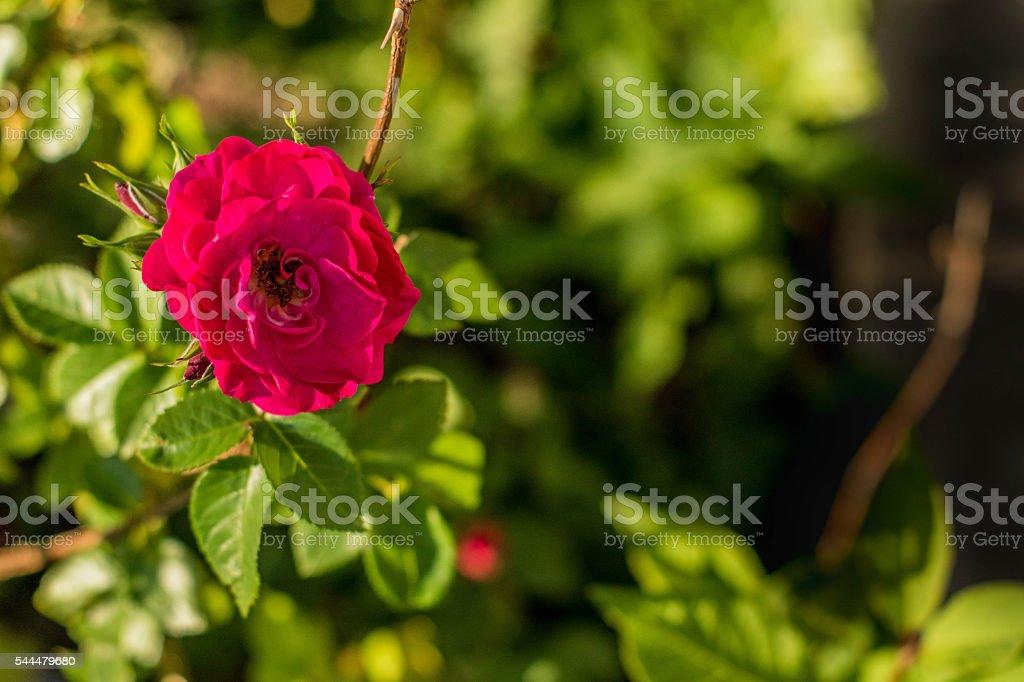 Large single full Rose on left of image stock photo