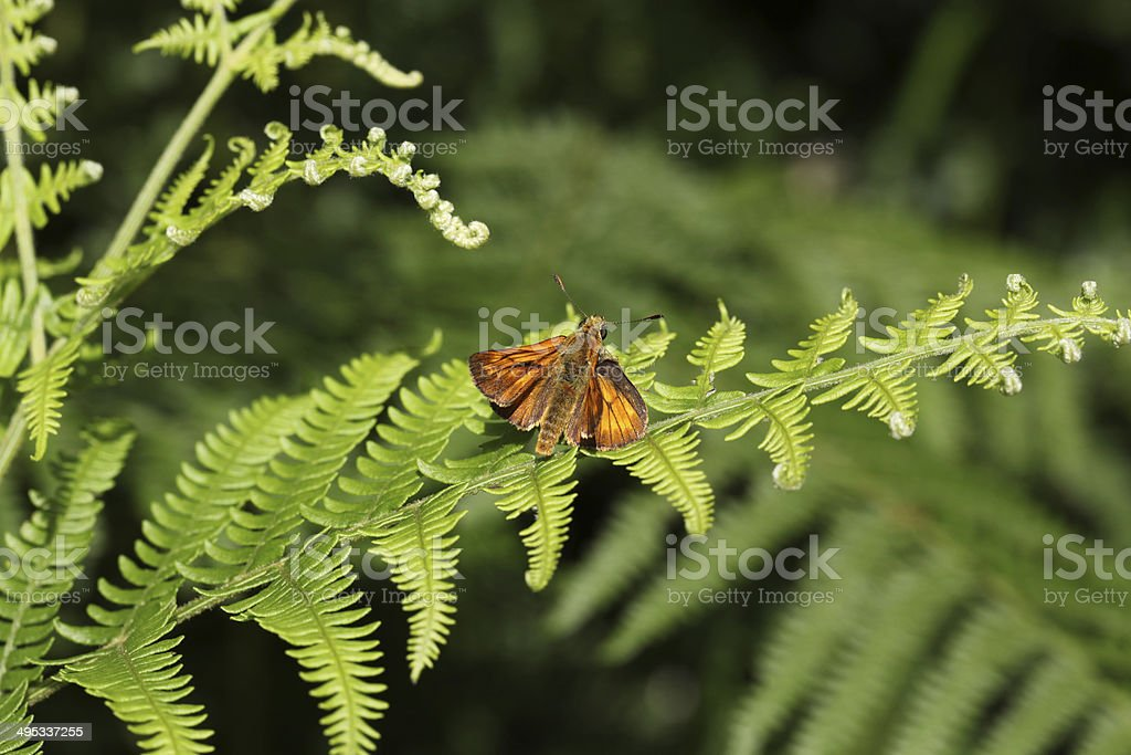 large skipper butterfly on a fern leaf royalty-free stock photo