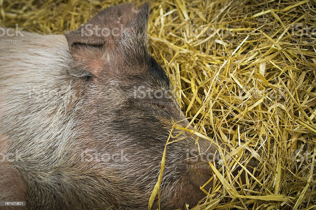 Large sleeping pig royalty-free stock photo