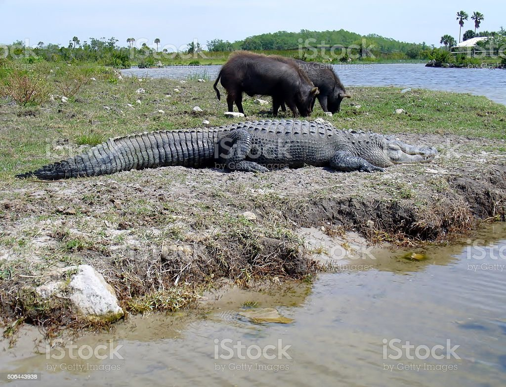Large slipping alligator and two wild hogs eating grass stock photo