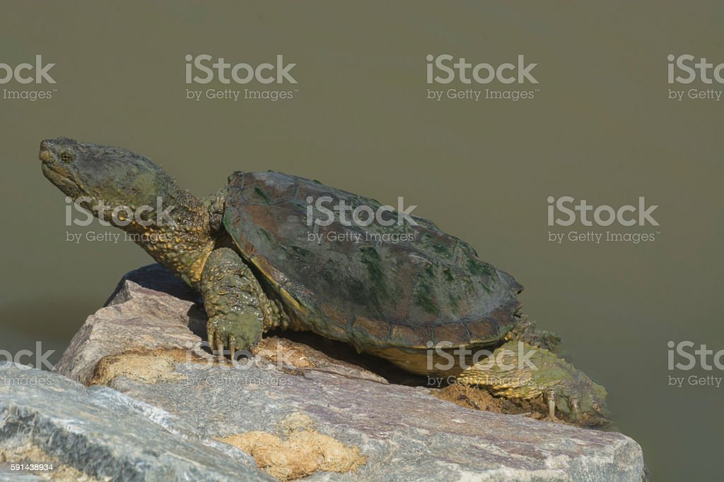 Large snapping turtle stock photo
