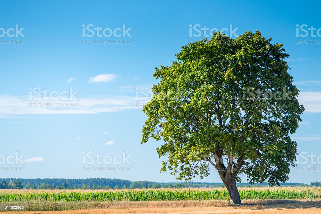 large solitary tree in a beautiful field stock photo