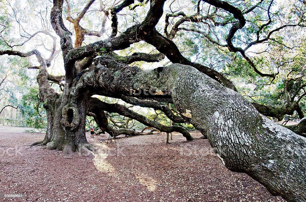Large southern live Angel Oak Tree on John's Island, South stock photo