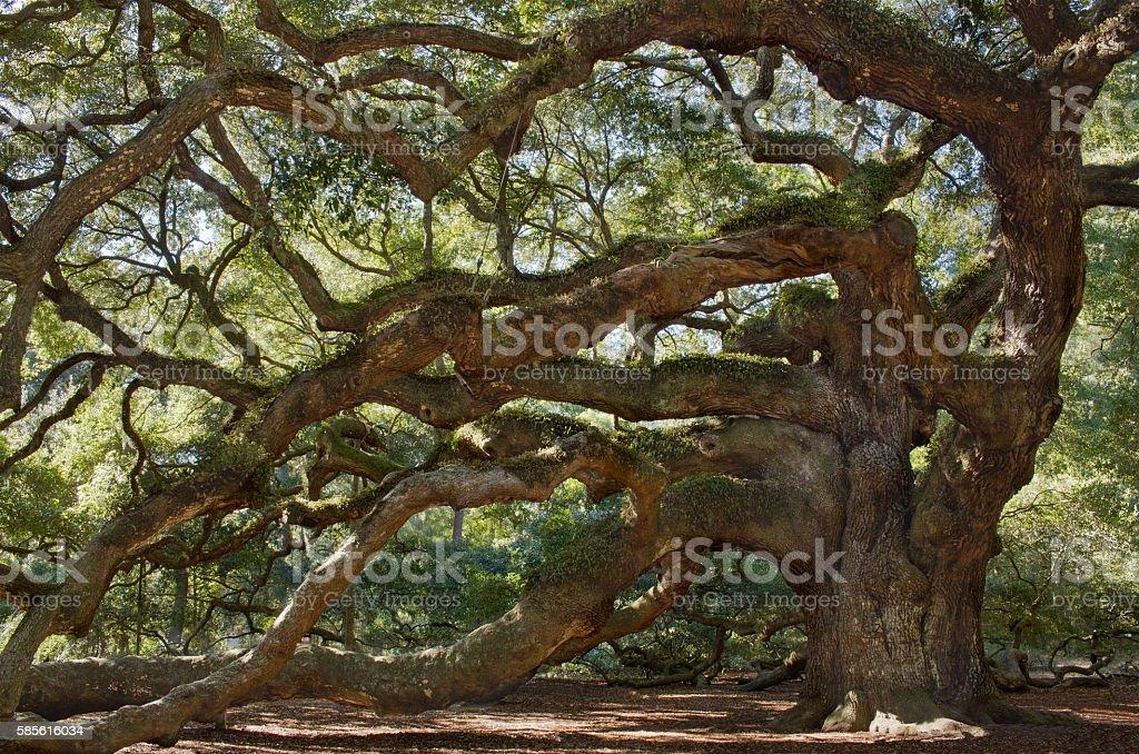 Large southern live oak tree stock photo