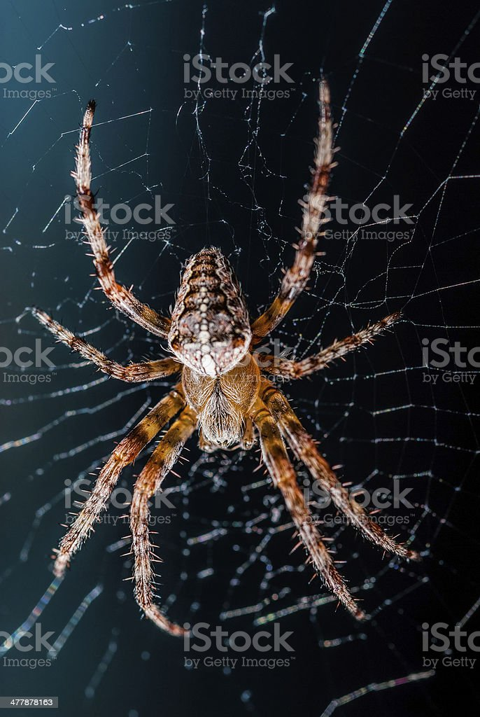 Large spider on the web royalty-free stock photo