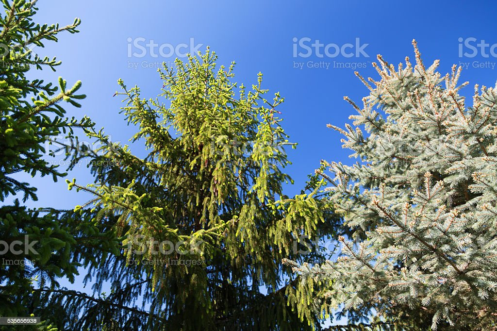 Large Spruce Treetops stock photo