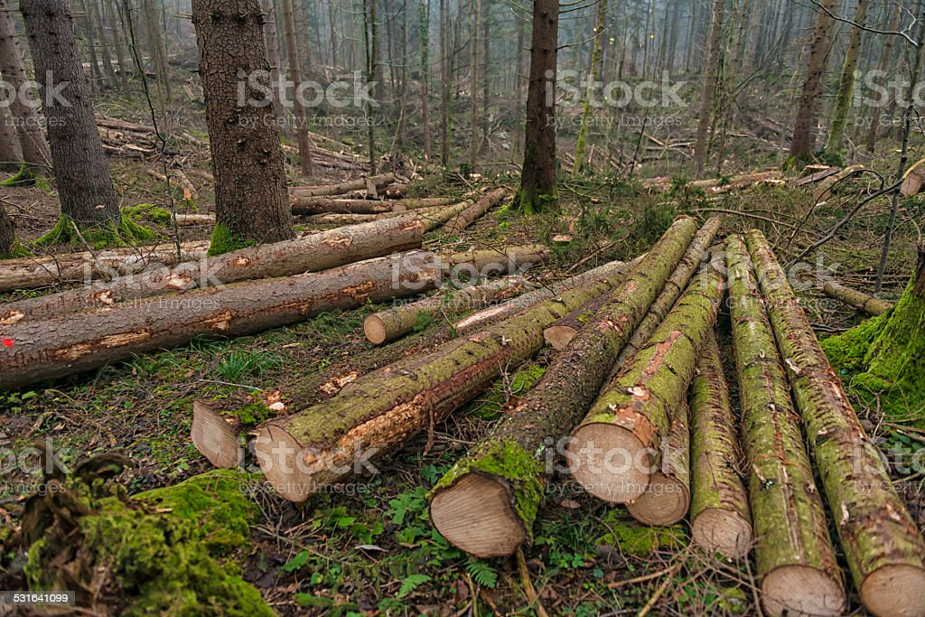 Large stack of logs in forest stock photo