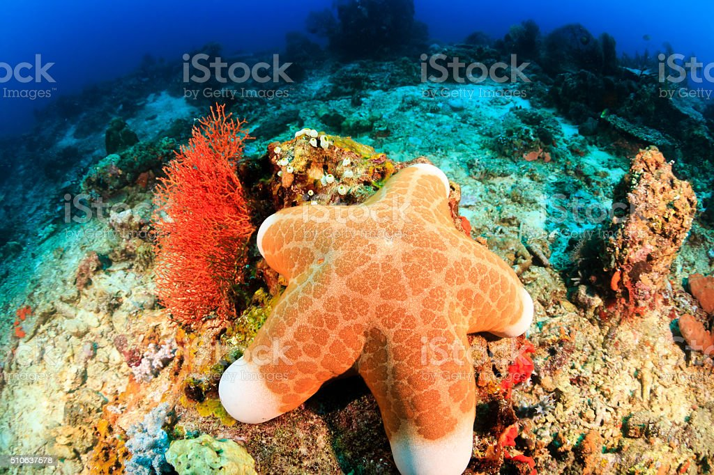 Large starfish on a reef stock photo