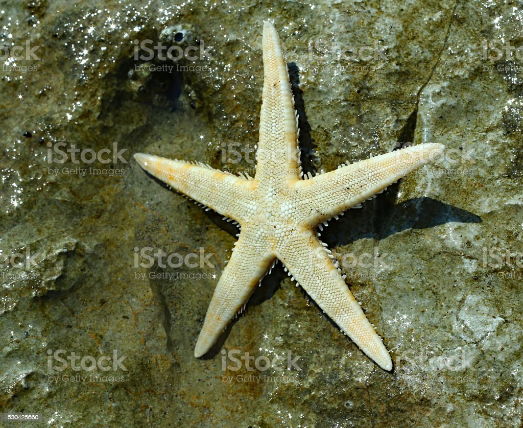 large starfish with five toes on the rock stock photo