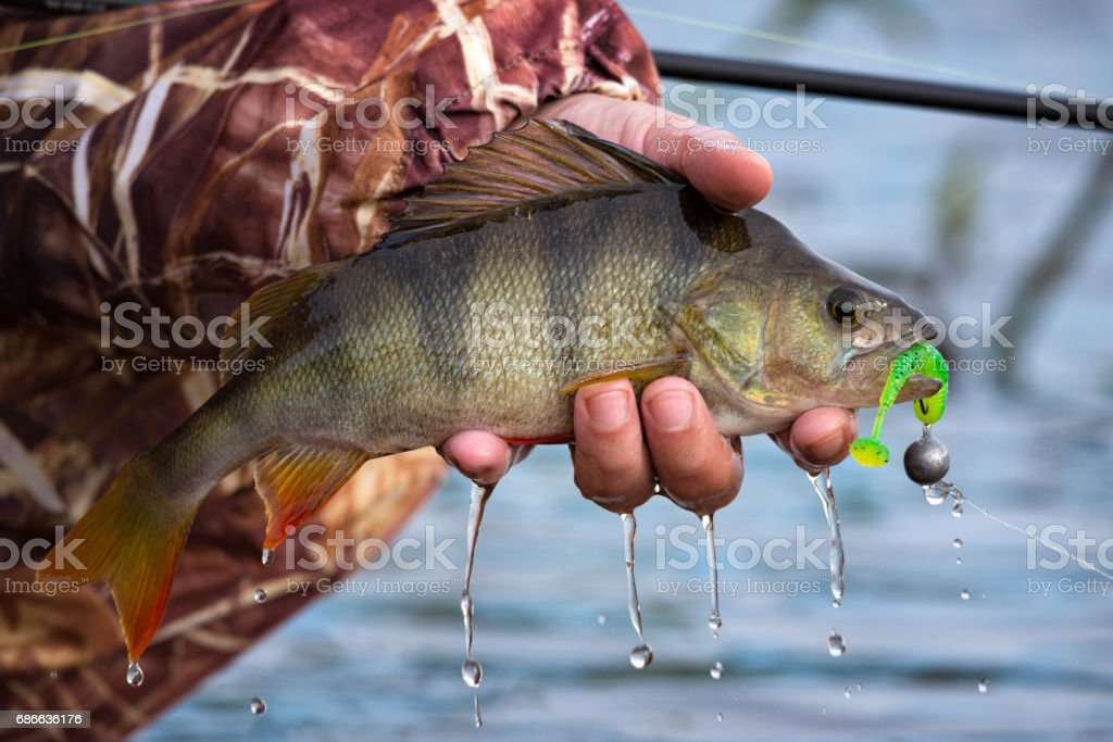 Large striped bass with hook in the mouth and drops of running water in the fisherman's hand. Fishing trophies, caught on a jig & soft bait,in the hand of angler above the water. stock photo