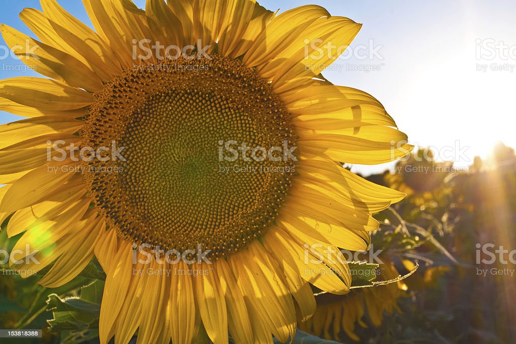 Large Sunflower royalty-free stock photo