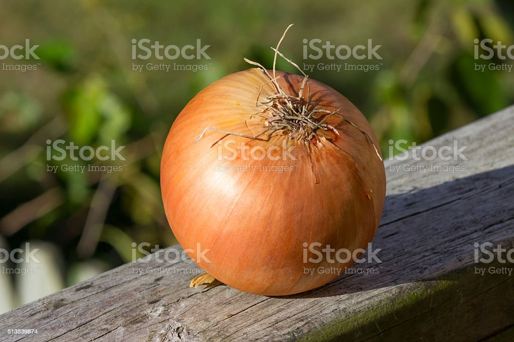 large sweet onion on wooden rail stock photo