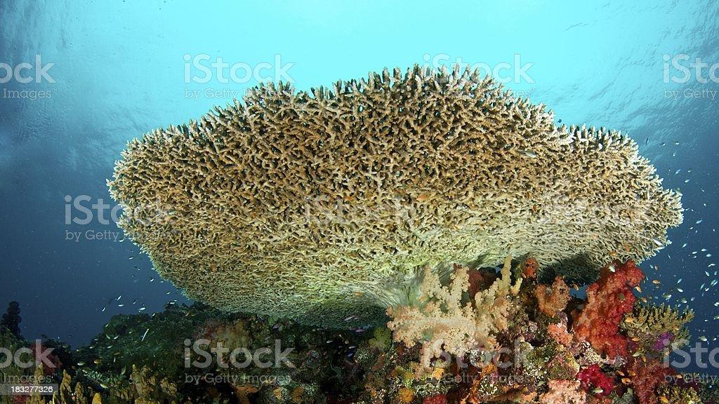 Large tabletop coral in Somosomo Strait, Fiji stock photo