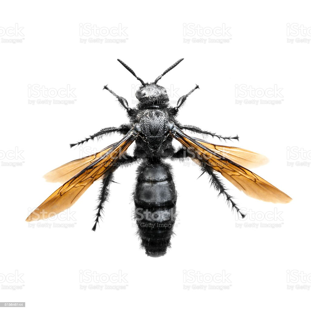Large Tarantula Hawk Wasp (Spider Hunting Wasp) stock photo